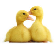 Cute little duckling Royalty Free Stock Photo
