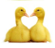 Cute little duckling Stock Images