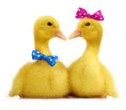Cute little duckling Stock Photography