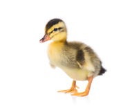 Cute little duckling Stock Image