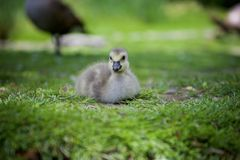 Duckling resting on the grass royalty free stock photos