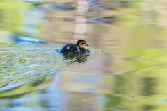 Cute little duckling swimming stock photo