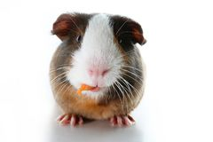 Cute little dutch guinea pig on studio white background. Isolated white pet photo. Sheltie peruvian pigs with symmetric. Pattern. Domestic guinea pig Cavia Royalty Free Stock Photos
