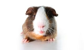 Cute little dutch guinea pig on studio white background. Isolated white pet photo. Sheltie peruvian pigs with symmetric pattern. D. Omestic guinea pig Cavia Stock Images