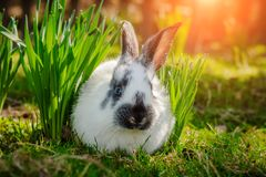 Cute little Easter Bunny on green grass in spring sunny day. Folkloric figure and symbol of Easter. royalty free stock photos