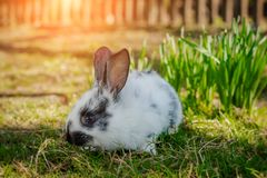 Cute little Easter Bunny on green grass in spring sunny day. Folkloric figure and symbol of Easter. stock images