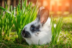 Cute little Easter Bunny on green grass in spring sunny day. Folkloric figure and symbol of Easter. stock photo