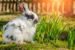 Cute little Easter Bunny on green grass in spring sunny day. Folkloric figure and symbol of Easter. royalty free stock photo