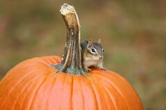 Cute Little Eastern Chipmunk Sitting on a Pumpkin in Fall