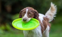 Cute little English Springer Spaniel with wagging tail fetching a yellow flying disc stock photography