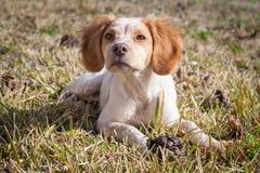Cute little Epagneul Breton. Dog portrait royalty free stock image
