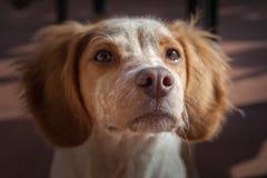 Cute little Epagneul Breton dog. Portrait stock image