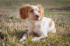 Cute little Epagneul Breton dog. Portrait stock photos