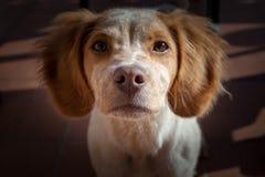 Cute little Epagneul Breton. Dog portrait royalty free stock photo