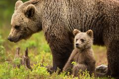 Eurasian brown bear mother with her cub. Cute little Eurasian brown bear cub sitting by the mother for safety and comfort, Finland royalty free stock photography