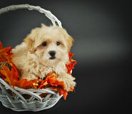 Cute Little Fall Puppy Stock Images