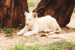 Lion cub. Cute little feline Royalty Free Stock Images