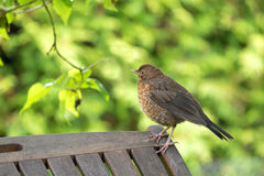Cute little female Eurasian Blackbird, Juvenile Common Blackbird Stock Photography
