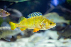 Cute little fish in an aquarium Royalty Free Stock Photo