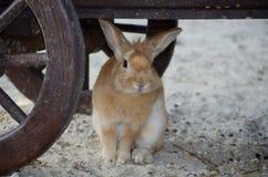 Cute little fluffy eared rabbit in a paddock. Stock Photo