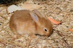 Cute little fluffy eared rabbit in a paddock. Royalty Free Stock Image