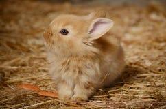 Cute little fluffy eared rabbit in a paddock. Stock Image