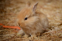 Cute little fluffy eared rabbit in a paddock. Stock Images