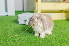 Cute little fluffy white lop eared bunny rabbit sitting on grass. symbolic of Easter and the spring season.Spring. Cute little fluffy white lop eared bunny royalty free stock photography