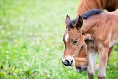Brown baby horse outdoors, close-up, standing in the meadow. Cute little foal, close-up, outdoor, green grass background, another adult horse at the background Stock Photo