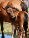 Cute little foal. Scratching his back Stock Photo