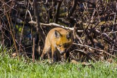 Cute little fox pup puppy sniffing the grass stock image