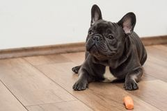 Cute little french buldog puppy stock image