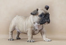 Cute little French bulldog puppy Royalty Free Stock Photography