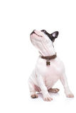 Cute little french bulldog puppy turning its head to something Stock Images