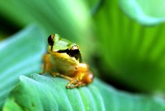 A little frog on lotus leaf royalty free stock photos