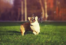 Cute little funny red dog puppy Corgi walks on the green lawn with young grass and catches shiny soap bubbles on a Sunny warm. Day stock images