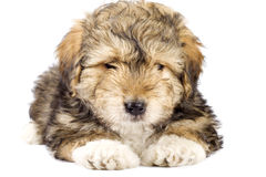 Cute little fur ball Royalty Free Stock Image