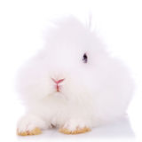Cute little fur ball Royalty Free Stock Images