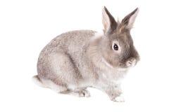 Cute grey rabbit on white Stock Photo