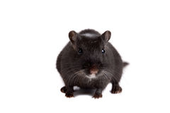 Cute little gerbil Royalty Free Stock Photos