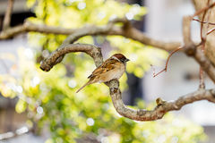 A Cute Little German Sparrow 1 Royalty Free Stock Images