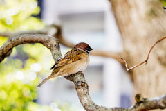A Cute Little German Sparrow Royalty Free Stock Images