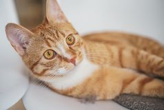 Cute little ginger cat laying in gray blanket. At home, relax time royalty free stock photos