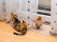 Cute little ginger-white kitten in the house sitting on the floor with paws up and tricolor cat is turned away. Royalty Free Stock Images