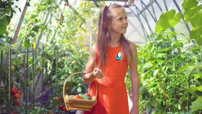 Cute little girl collects crop cucumbers and tomatos in greenhouse stock video