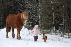 Cute little girl leading big draught horse in winter