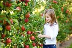 Cute little girl picking apples in apple tree orchard Stock Photos