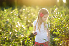 Cute little girl picking fresh berries on organic blueberry farm on warm and sunny summer day Stock Photos