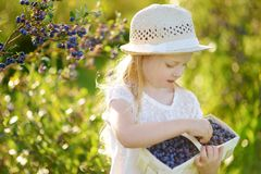 Cute little girl picking fresh berries on organic blueberry farm on warm and sunny summer day. Fresh healthy organic food for kids. Cute little girl picking stock photography