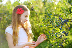 Cute little girl picking fresh berries on organic blueberry farm on warm and sunny summer day Stock Photography
